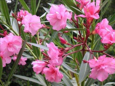 T Afficher le sujet - Semis de Laurier rose? - forum